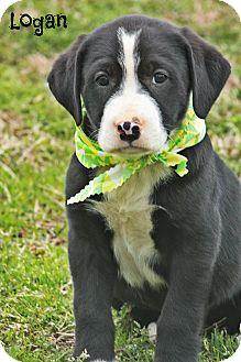Labrador Retriever Mix Puppy for adoption in Glastonbury, Connecticut - Logan