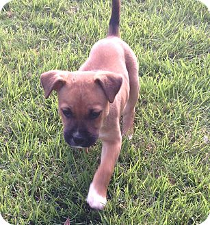 Boxer/German Shepherd Dog Mix Puppy for adoption in CHAMPAIGN, Illinois - LEXI