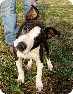 American Pit Bull Terrier Mix Puppy for adoption in Paducah, Kentucky - Pirate