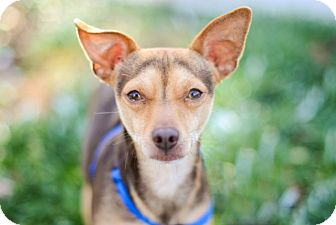 Miniature Pinscher/Toy Fox Terrier Mix Dog for adoption in Mission Viejo, California - Mr. Waffles