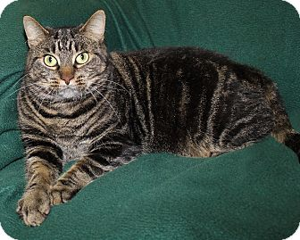 Domestic Shorthair Cat for adoption in Rochester, New York - Mona