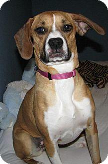Boxer Mix Dog for adoption in Minneapolis, Minnesota - Sadie