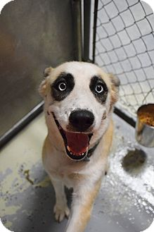 Alaskan Malamute/Australian Shepherd Mix Dog for adoption in Lebanon, Missouri - Zasha