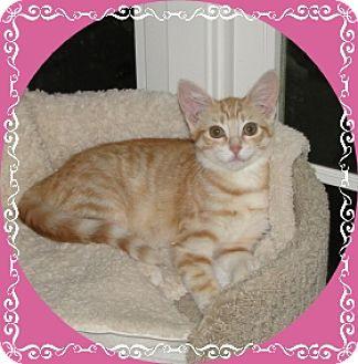 Domestic Shorthair Kitten for adoption in Mt. Prospect, Illinois - Rosie