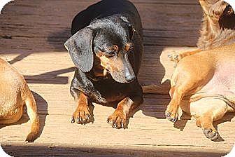 Dachshund Dog for adoption in Greenville, South Carolina - Daffy
