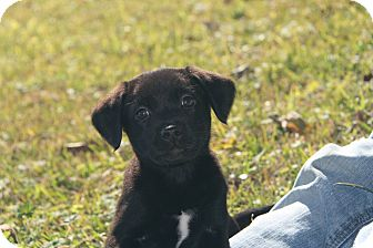 Labrador Retriever Mix Puppy for adoption in Destrehan, Louisiana - Domaine