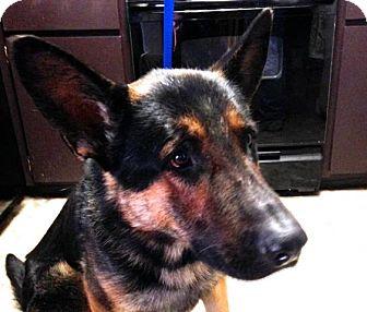 German Shepherd Dog Mix Dog for adoption in Walnut Creek, California - Wilson