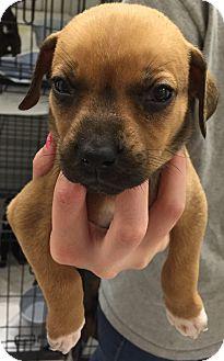 Labrador Retriever/Boxer Mix Puppy for adoption in Powder Springs, Georgia - Gwyn