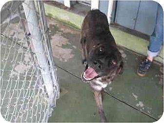 Catahoula Leopard Dog Dog for adoption in Lavon, Texas - Sadie