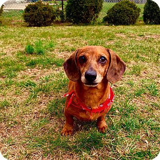 Dachshund Mix Dog for adoption in Lyndhurst, New Jersey - Lucky