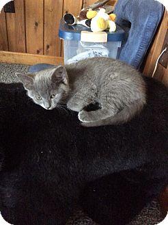 Domestic Shorthair Kitten for adoption in Mt Pleasant, Pennsylvania - Google