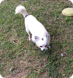 Pomeranian/Chihuahua Mix Dog for adoption in Tavares, Florida - Bosley