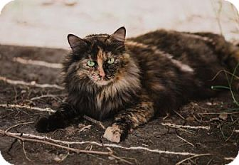 Domestic Mediumhair Cat for adoption in Wichita, Kansas - Abigail