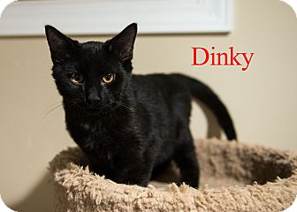 Domestic Shorthair Cat for adoption in Baltimore, Maryland - Dinky