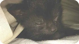 Domestic Shorthair Kitten for adoption in McArthur, Ohio - lil bear