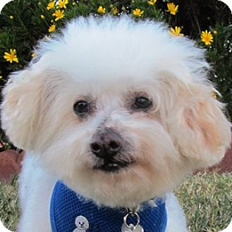 Bichon Frise Mix Dog for adoption in La Costa, California - Jeffy