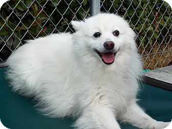American Eskimo Dog Mix Dog for adoption in Grants Pass, Oregon - Charlie