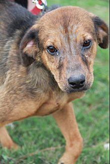 Shepherd (Unknown Type) Mix Dog for adoption in Cat Spring, Texas - Sally