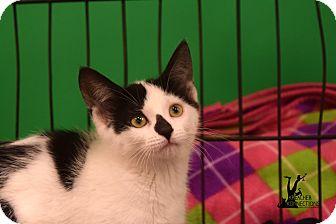 Domestic Shorthair Kitten for adoption in Flushing, Michigan - Shelby