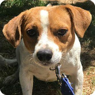 Beagle Mix Dog for adoption in Sunnyvale, California - Benedict