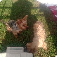 Adopt A Pet :: Cali - Benton, PA