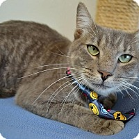 Domestic Shorthair Cat for adoption in Plano, Texas - SWORDFISH - SWEET & SILVER!
