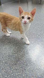 Domestic Shorthair Kitten for adoption in yuba city, California - Peaches