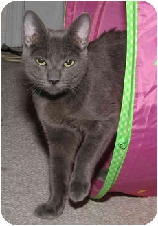 Russian Blue Cat for adoption in Arlington, Virginia - Smoke