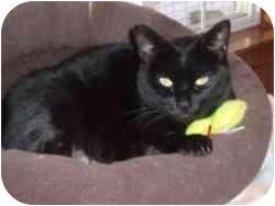 Domestic Shorthair Cat for adoption in Hamburg, New York - Honey