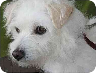 Terrier (Unknown Type, Small) Mix Dog for adoption in Spring Valley, California - Fitzroy