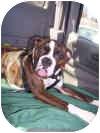 Boxer Puppy for adoption in Sunderland, Massachusetts - CAPTAIN