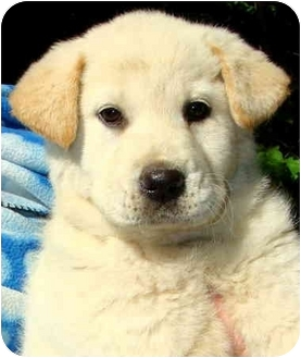 Labrador Retriever Mix Puppy for adoption in Pawling, New York - BRANDI