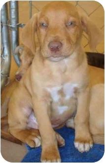 Australian Shepherd/Retriever (Unknown Type) Mix Puppy for adoption in Arkadelphia, Arkansas - Sammy