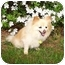 Photo 4 - Pomeranian Dog for adoption in Roebuck, South Carolina - Charlie