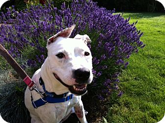 American Staffordshire Terrier/Greyhound Mix Dog for adoption in Salem, Oregon - Hailey