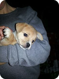 Chihuahua/Beagle Mix Puppy for adoption in East Rockaway, New York - Popeye