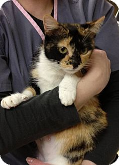 Domestic Shorthair Cat for adoption in Troy, Ohio - Sasha