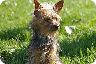 Yorkie, Yorkshire Terrier Mix Dog for adoption in Elyria, Ohio - Carey Grant