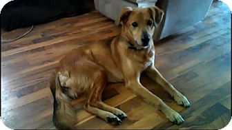 Shepherd (Unknown Type)/Golden Retriever Mix Dog for adoption in Austin, Minnesota - Lady