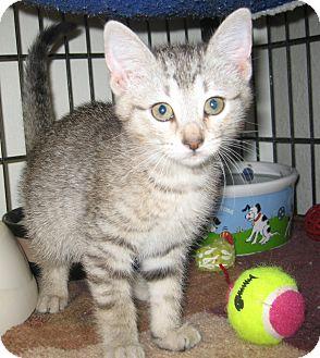 Domestic Shorthair Kitten for adoption in Bulverde, Texas - Ruby