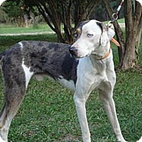 Adopt A Pet :: Lefty - Conway, AR
