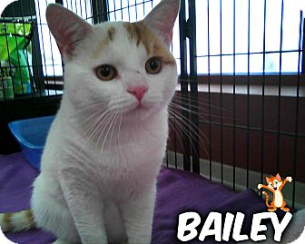 Domestic Shorthair Cat for adoption in River Edge, New Jersey - Bailey
