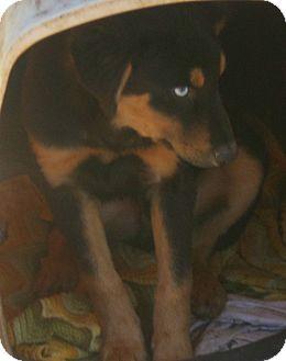 Australian Shepherd/Bernese Mountain Dog Mix Puppy for adoption in Coudersport, Pennsylvania - RUDOLPH