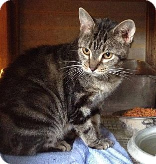 Domestic Shorthair Cat for adoption in St. Francisville, Louisiana - Caramel
