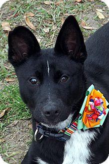 Border Collie/Labrador Retriever Mix Dog for adoption in San Leon, Texas - Suki