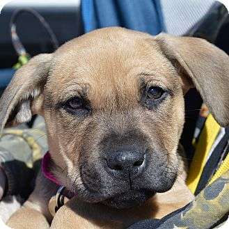 Boxer/German Shepherd Dog Mix Puppy for adoption in Columbia, Illinois - Esme