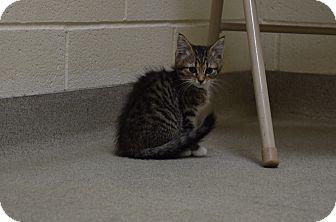 Domestic Shorthair Kitten for adoption in Bucyrus, Ohio - Insurgent
