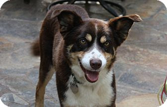 Border Collie Mix Dog for adoption in Corning, California - SHANE