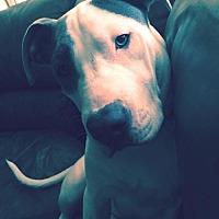 American Pit Bull Terrier Dog for adoption in Fredericksburg, Virginia - Blu- Courtesy Listing