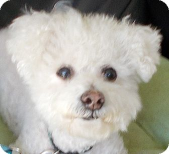 Bichon Frise Dog for adoption in Plain City, Ohio - Harley